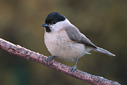 Glanskop / Marsh Tit