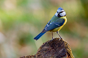 Pimpelmees / Blue Tit
