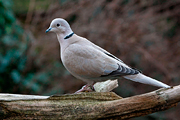 Turkse Tortel / Collared Dove