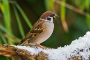 Ringmus / Tree Sparrow